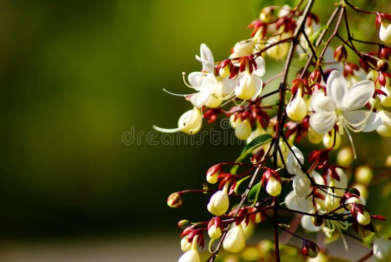 关闭,并且美丽的白花的选择聚焦图片与花粉的在分支在早晨风景开花 图库摄影