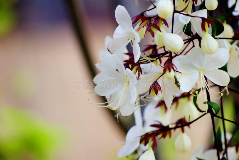 关闭,并且美丽的白花的选择聚焦图片与花粉的在分支在早晨风景开花 免版税图库摄影