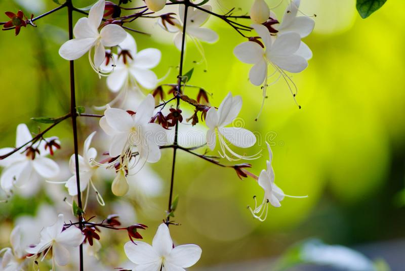 关闭,并且美丽的白花的选择聚焦图片与花粉的在分支在早晨风景开花 免版税库存图片