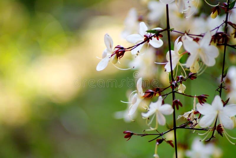 关闭,并且美丽的白花的选择聚焦图片与花粉的在分支在早晨风景开花 库存图片
