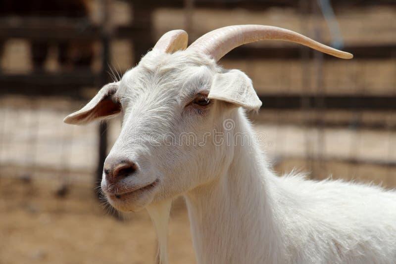 关闭 在羊魄农场的山羊在Mizpe拉蒙附近 以色列2017年 库存照片