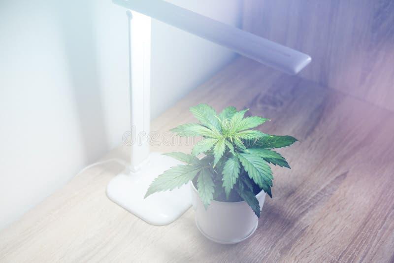 关闭 大麻叶子 大麻在桌上 增长的大麻在家 大麻种植生长 库存照片