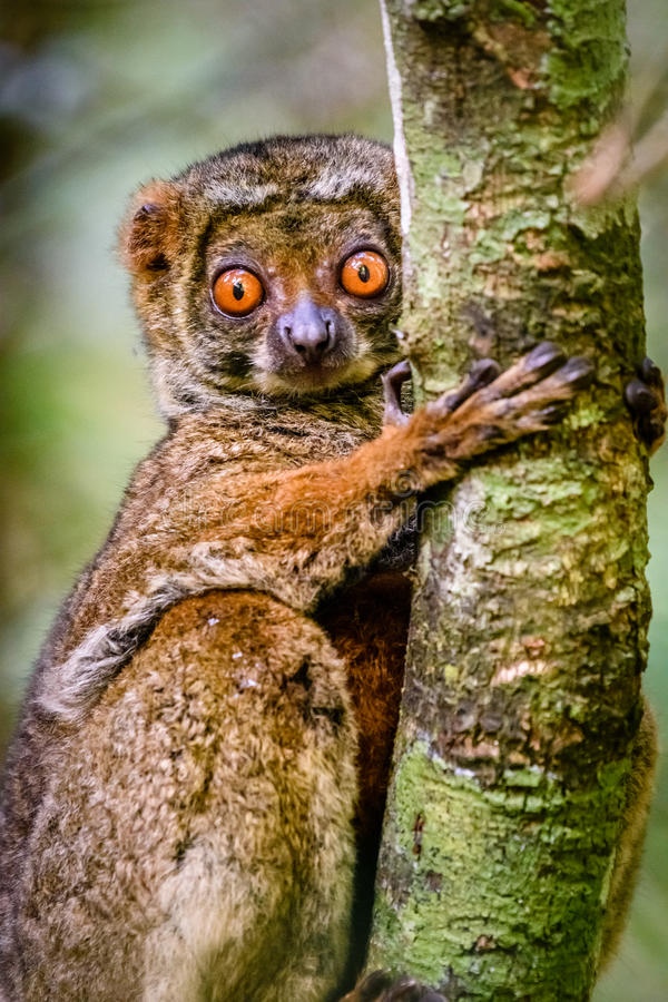 关闭紧贴对树的羊毛制狐猴 免版税图库摄影