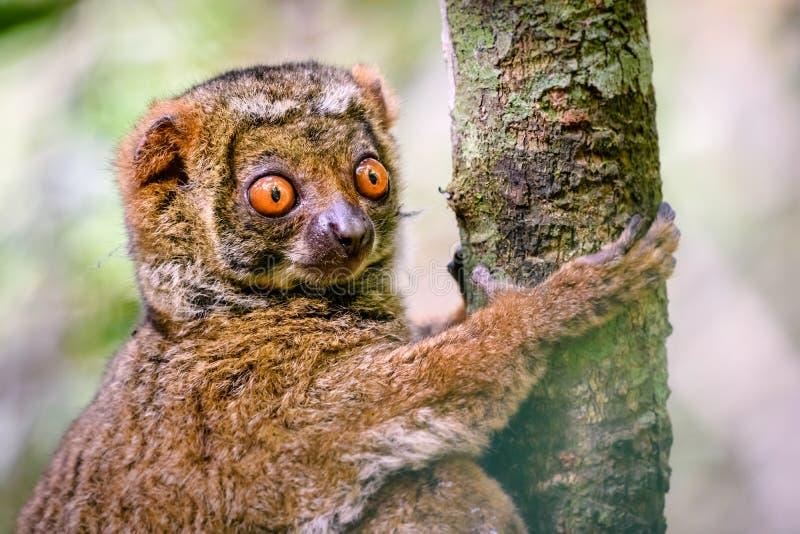 关闭紧贴对树的羊毛制狐猴 库存图片