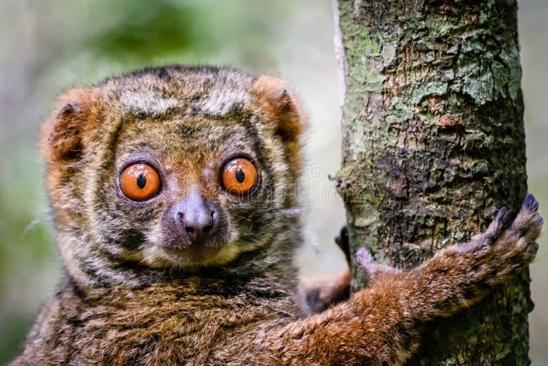 关闭紧贴对树的羊毛制狐猴 免版税库存图片