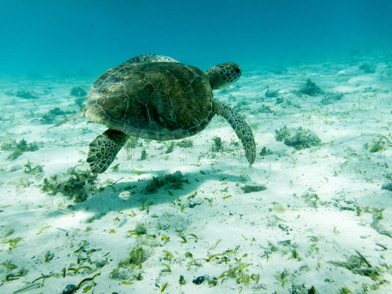 关闭绿浪乌龟(海龟属mydas)游泳的细节在被日光照射了加勒比海在多巴哥岩礁 免版税库存图片