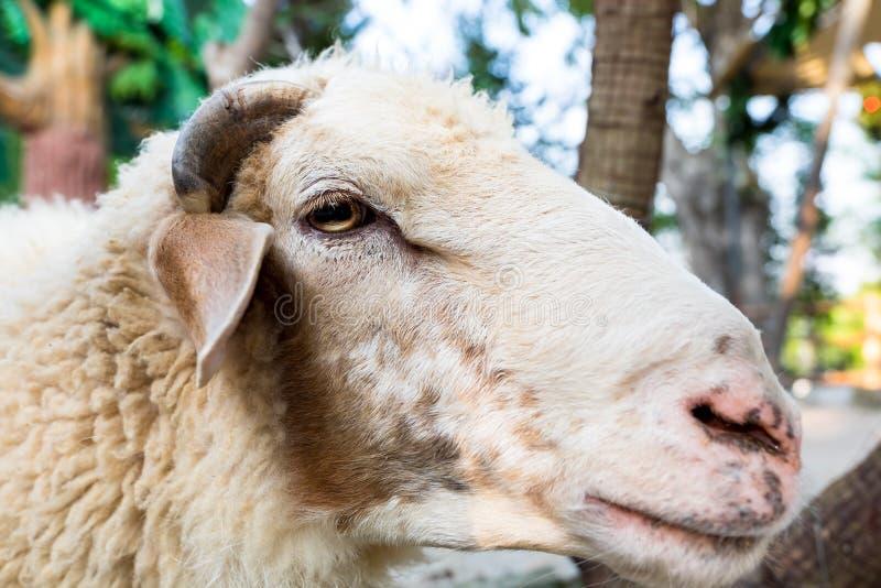 人和绵羊交配_关闭绵羊在农场 库存图片. 图片 包括有 交配动物者