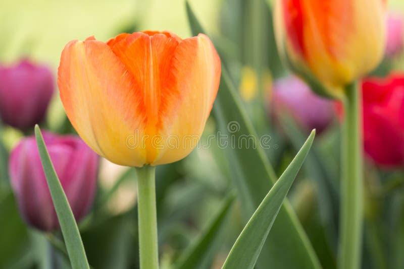 关闭黄色和橙色郁金香在荷兰密执安 免版税图库摄影