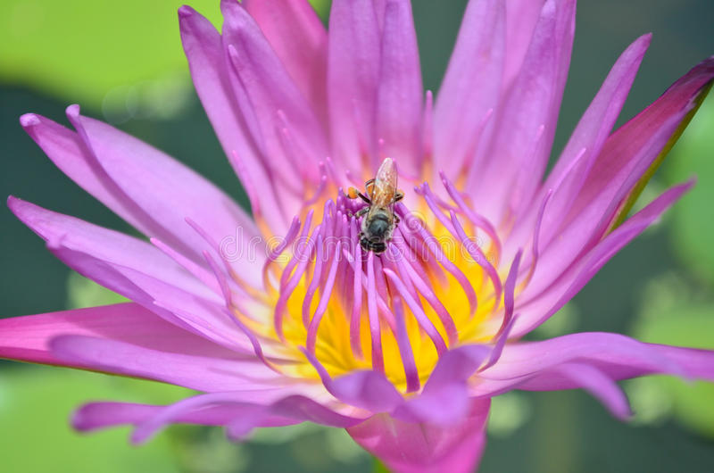 关闭紫色莲花和蜂 免版税库存图片