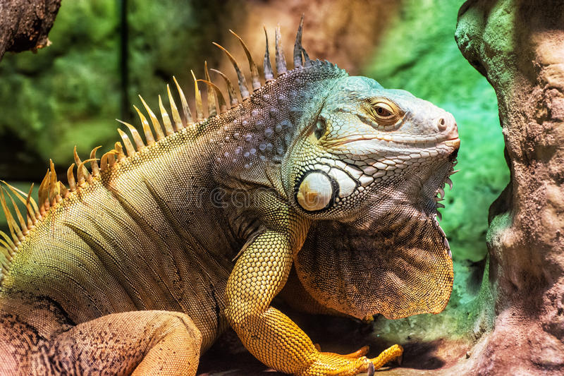关闭绿色鬣鳞蜥-鬣鳞蜥鬣鳞蜥画象  库存图片