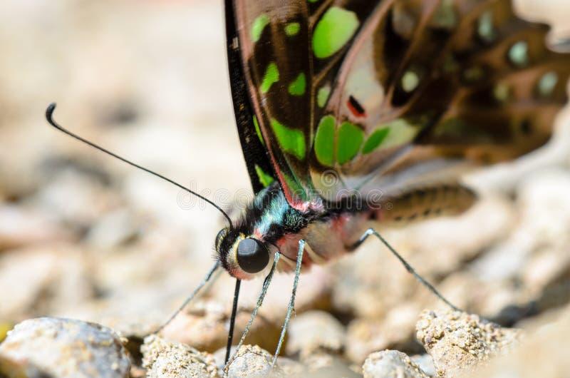 关闭蝴蝶与有在翼的绿色斑点的被盯梢的杰伊 图库摄影