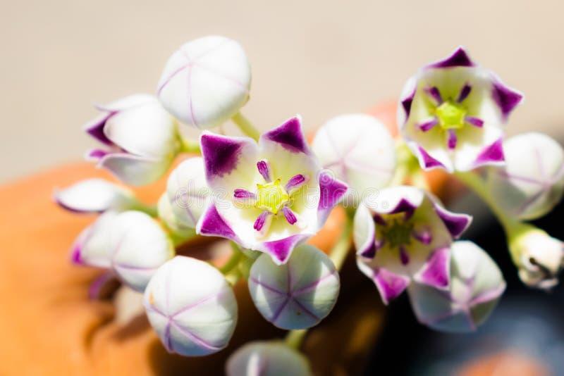 关闭calotropis gigantea,一束紫色花 免版税库存图片