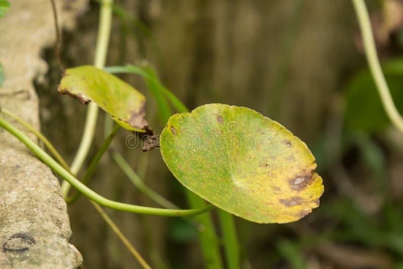 关闭Gotu可拉树树绿色叶子  免版税库存图片