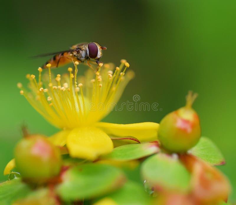 关闭hoverfly采取从金丝桃属植物圣约翰斯麦芽酒的耻辱的花蜜 免版税库存照片