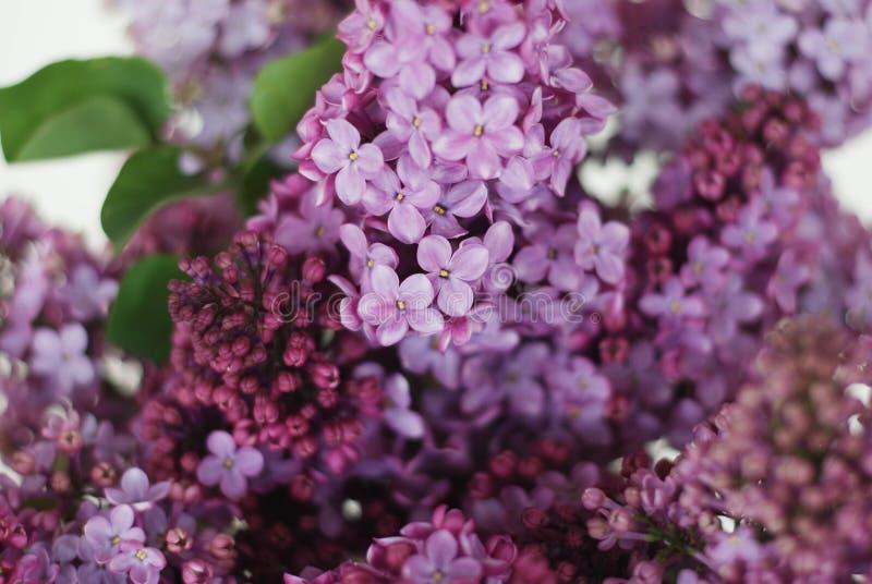 关闭lilalc紫色花花束 春天Flwoers 在白色背景的Isoalted与拷贝空间 库存图片