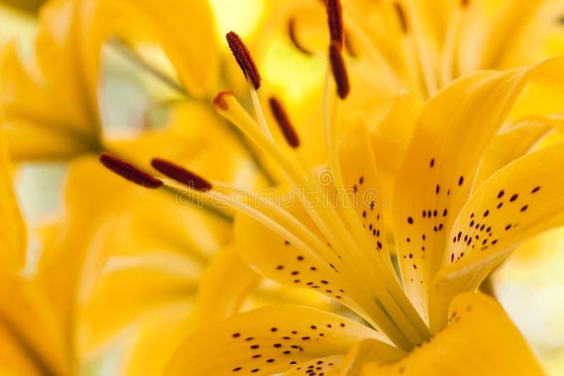关闭lilly黄色 免版税库存图片