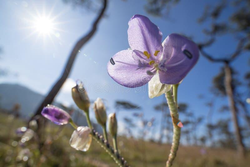 关闭Murdannia鸭跖草科家庭giganteum花与阳光的在山在冬天 库存照片
