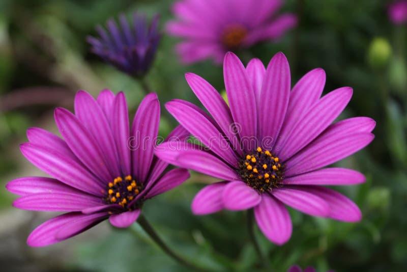 关闭Osteospermum紫罗兰色非洲雏菊花 图库摄影