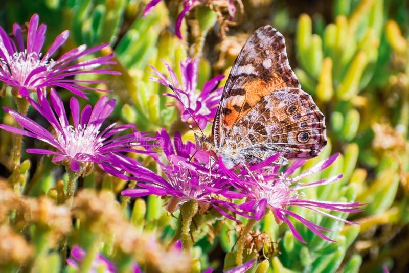 关闭Painted Vanessa夫人授粉一朵落后的Iceplant Delosperma cooperi花,加利福尼亚的cardui蝴蝶 免版税库存照片