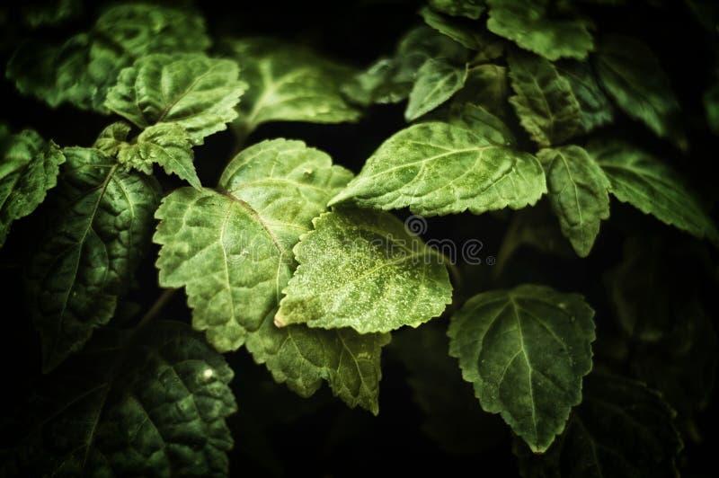 关闭Pogostemon cablin绿叶刺蕊草植物叶子 免版税图库摄影