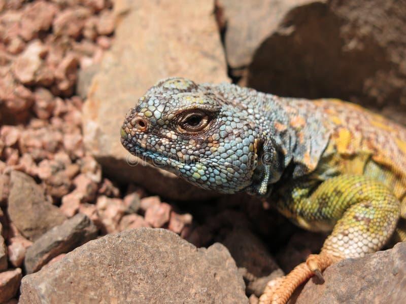 关闭Uromastyx Ornata -华丽多刺的被盯梢的蜥蜴 图库摄影