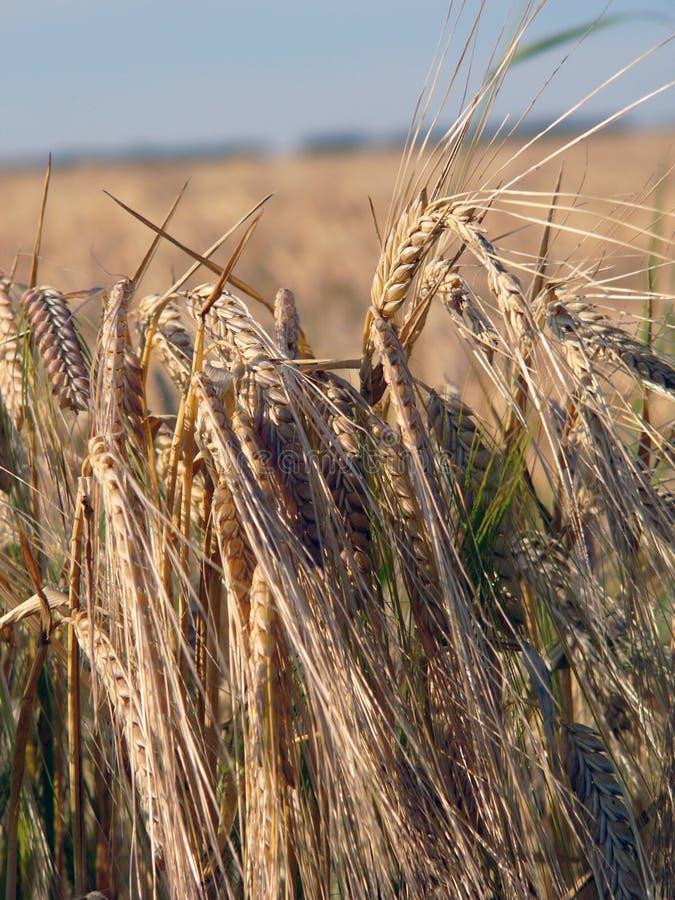 关闭wheatfield 免版税库存图片