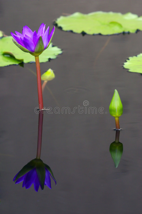 其百合紫色refl水 免版税库存照片