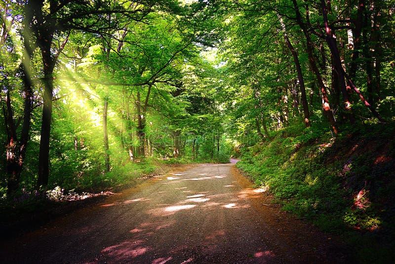 具球果东欧森林路径乌克兰木头 美丽的森林道路在国家公园弗鲁什卡山 库存图片