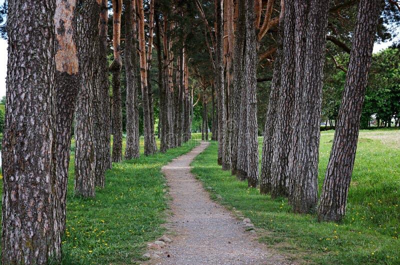 具球果东欧森林路径乌克兰木头 高大的树木胡同  库存图片