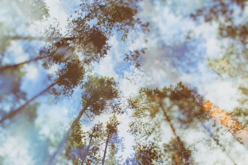 具球果林木和天空 两次曝光视图 免版税图库摄影