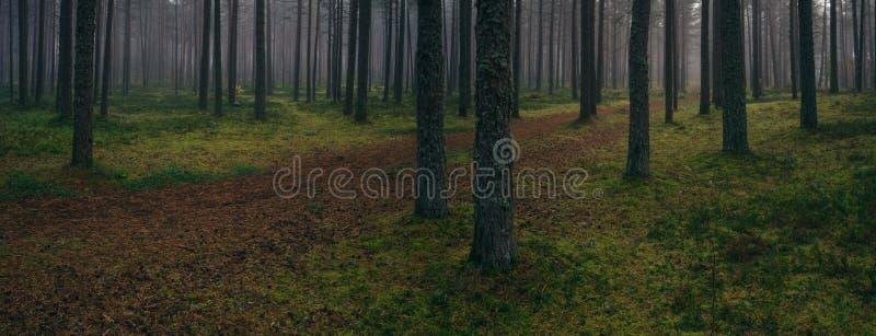 具球果森林全景在有雾的早晨之前 库存图片