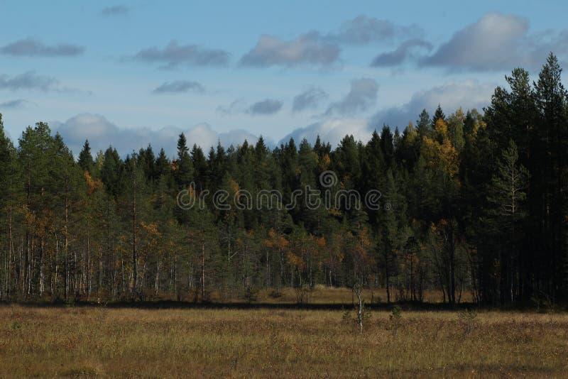 具球果森林在秋天 在前景的沼泽 免版税库存照片