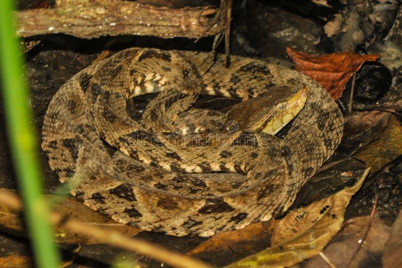 具窍蝮蛇属asper蛇在热带雨林里 免版税库存图片