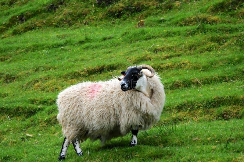 典型的苏格兰黑面的绵羊 免版税图库摄影