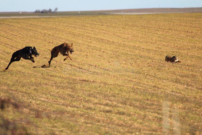 典型的西班牙狗准备好在野兔后 免版税库存照片