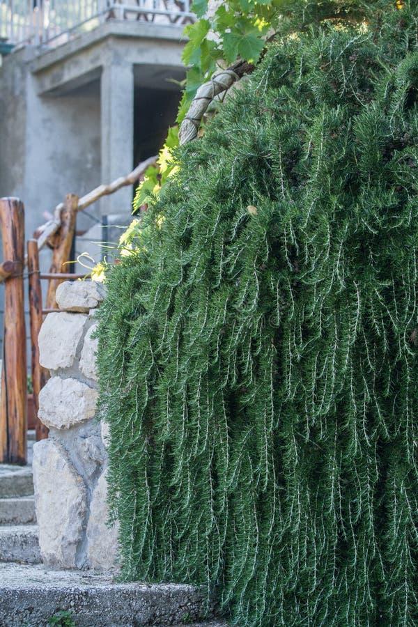典型的迷迭香植物在一个克罗地亚庭院里 库存图片