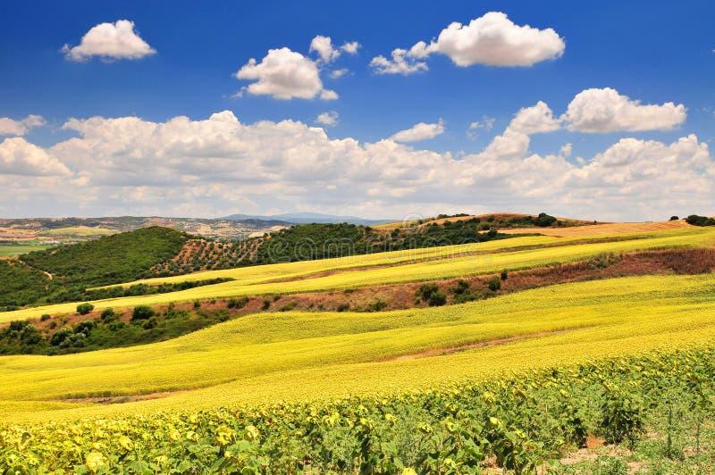 典型的风景用白色农舍向日葵和橄榄树小树林在卡约埃尔考斯德拉弗龙特拉安达卢西亚西班牙附近 免版税库存图片