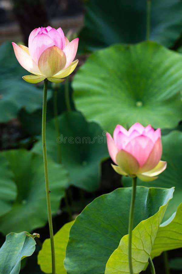 典雅的开花在大绿色叶子的莲花词根和花 库存照片