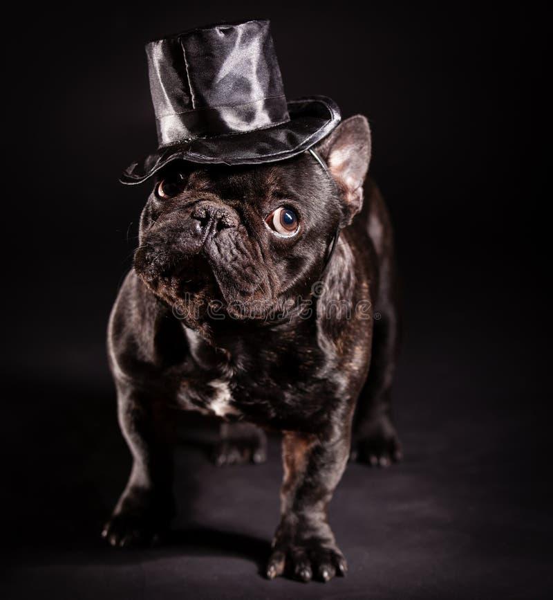 典雅的法国牛头犬 免版税库存图片