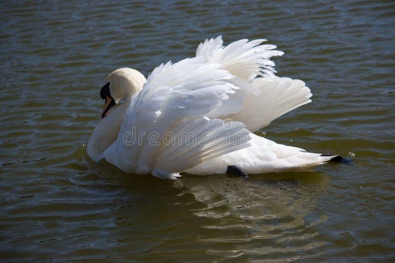 典雅的白色天鹅游泳在池塘 拉丁文和和平概念 与美丽的翼和白色全身羽毛的唯一天鹅 免版税库存照片