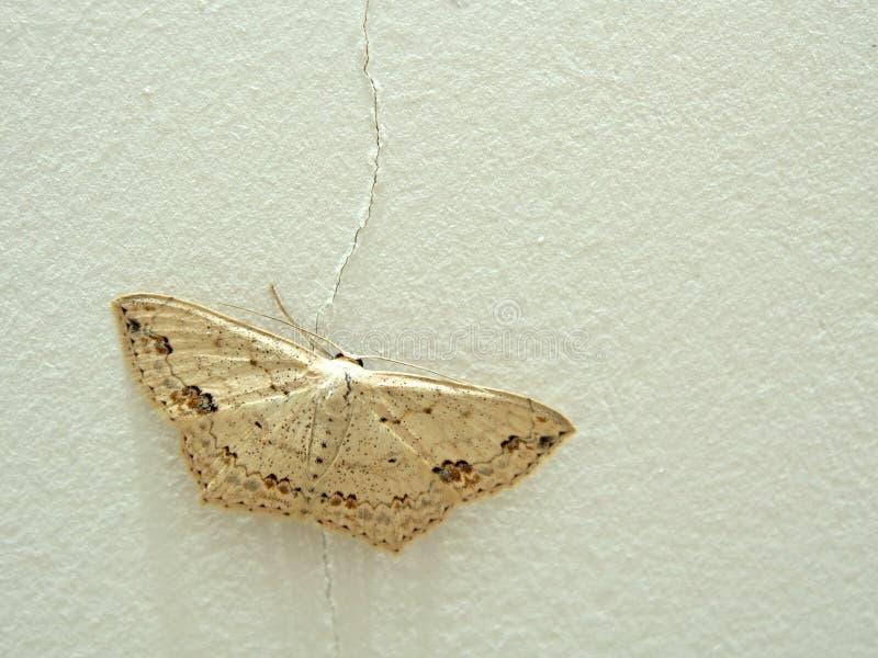 典雅的被察觉的飞蛾坐破裂的墙壁 免版税库存图片