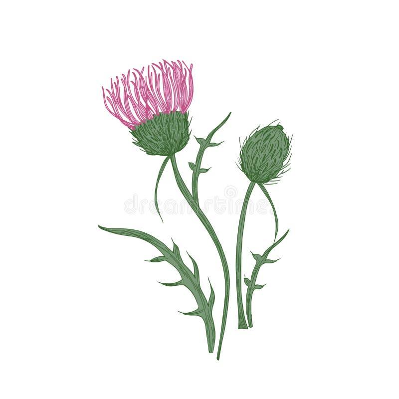 典雅的详细的植物的图画在白色背景和叶子隔绝的蓟花 美丽的狂放的草甸 向量例证
