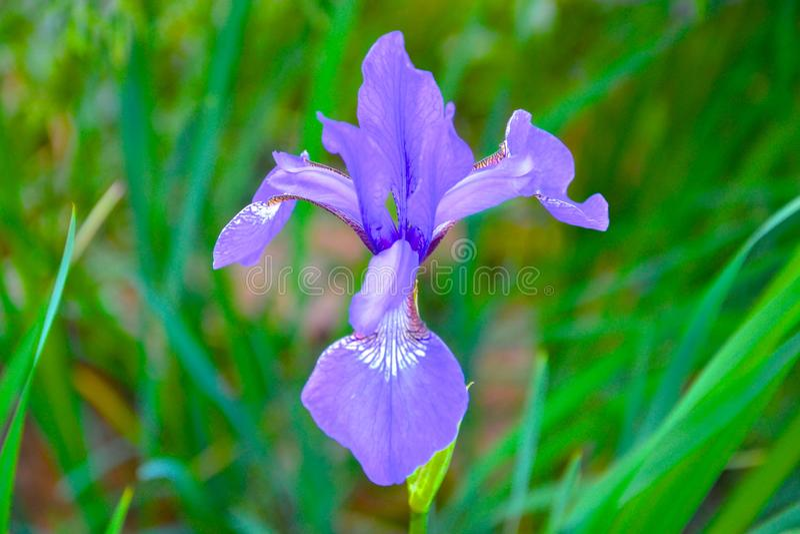 典雅的紫色花 免版税库存照片