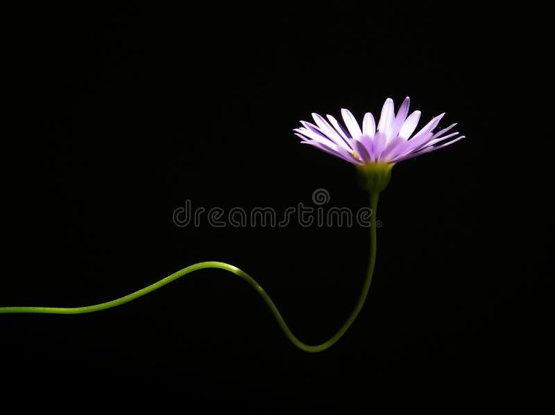典雅蓝色的雏菊 图库摄影