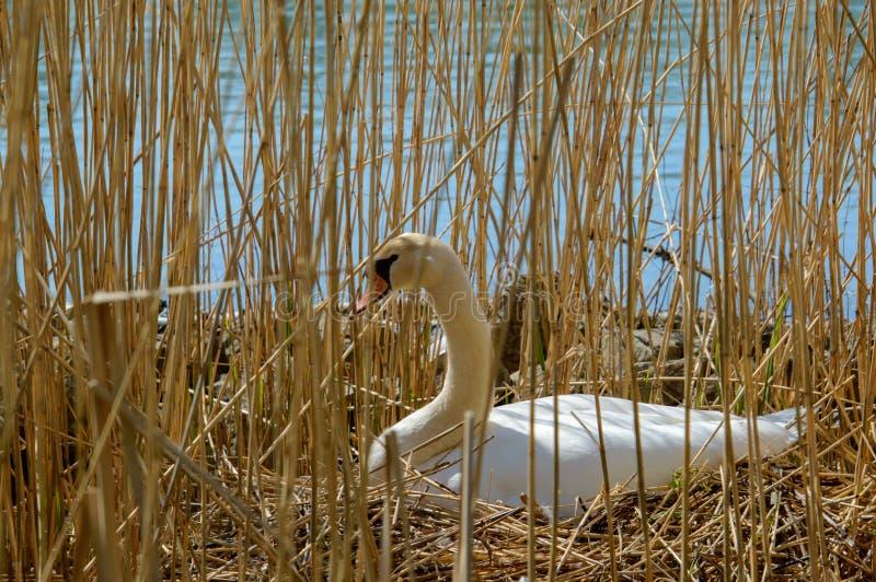 养殖在巢的白色筑巢天鹅鸡蛋在芦苇之间在水关闭外形vieuw附近 免版税库存图片