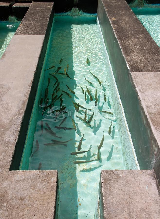 养殖鱼在池塘 免版税库存照片