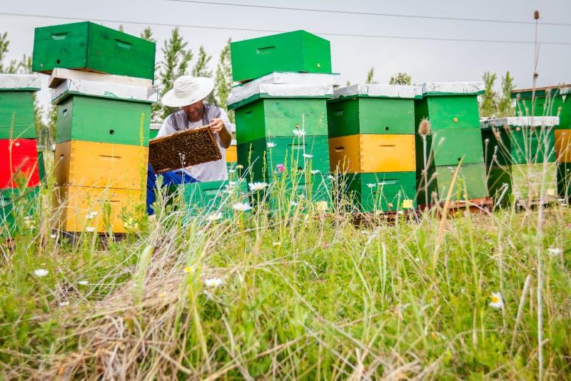 养蜂家,蜂农检查在蜂窝木制框架的蜂 免版税库存图片