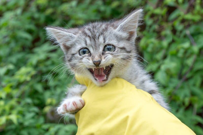 兽医在黄色手套穿戴的他的手上拿着一只小小猫 免版税库存照片