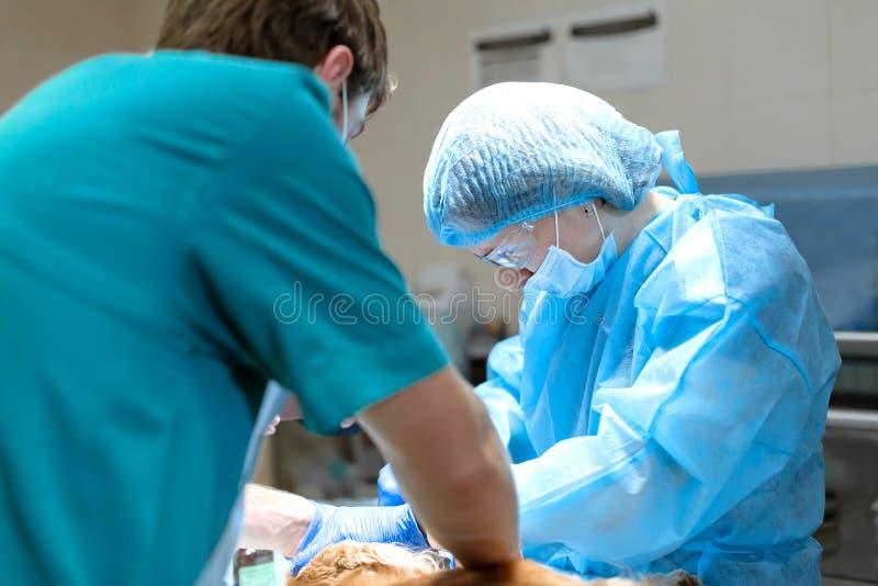 兽医牙科 牙医有助理的外科医生兽医清洗并且对待四叶花饰在的麻醉下 免版税库存图片