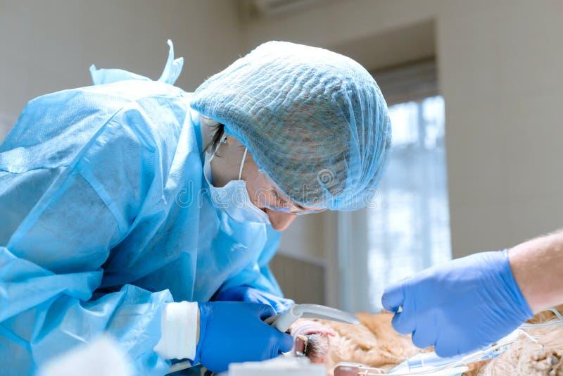 兽医牙科 牙医有助理的外科医生兽医清洗并且对待四叶花饰在麻醉下 库存照片
